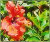 Hippy-iscus (boeckli) Tags: flowers flower flora fleur red rot hibiscus hibiskus outdoor topaz topazstudio textures texturen texture textur bunt farbig farbenfroh colourful colorful colour garden garten 7dwf netartii