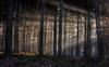 Morning LIght (CeriDJones) Tags: mist morning forest sunlight tree pine trunk country lane canopy oxfordshire