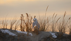 Snowy Owl (Marietta Dooley) Tags: snowyowl owl birdofprey birdsofprey canon newjersey birds wildlife shore coast beach dunes snow winter sunset grass sky