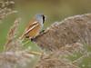 IMG_6099 Bearded reedling - Panurus biarmicus (smith_nick89) Tags: its aswell