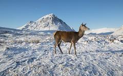 Red deer Glencoe Scotland (Steven Mcgrath (Glesgastef)) Tags: buachaille etive mor snow glencoe deer scotland scottish