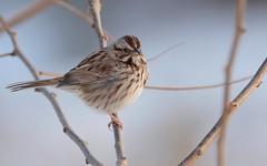 Song Sparrow (JDA-Wildlife) Tags: birds nikon nikond7100 tamronsp150600mmf563divc jdawildlife johnny portrait closeup eyecontact sparrows sparrowsong songsparrow whatbirdbestofday gorgeous brilliant composition