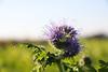 CKuchem-2220 (christine_kuchem) Tags: acker ackerrand agrarlandschaft biene bienenfreund bienenweide blühstreifen blüte boden bodenverbesserung dünger düngung feld felder grün gründünger insekten klee kulturlandschaft landwirtschaft lupinen mischung nahrung nektar phacelia ramtillkraut sommer verbesserung winterroggen bio biologisch blau lila naturnah natürlich