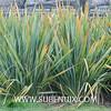 Phormium tenax-3 (SUBENUIX) Tags: phormiumtenax suculentas xanthorrhoeaceae subenuix subenuixcom planta suculent suculenta botanic botanical