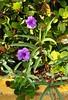 Curb Purples (LarryJay99 ) Tags: curb hedge sidewalk urban urbanite naturegreenery greenery nature