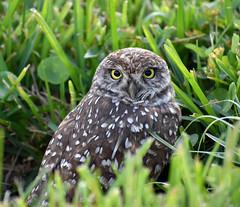 Burrowing owl (BMADHudson) Tags: burrowingowl florida southflorida owl nature december bmadhudson