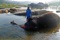 ELEPHANT BATH (GOPAN G. NAIR [ GOPS Photography ]) Tags: gopsorg gops gopsphotography gopangnair gopan photography elephant bath hampi karnataka india river tungabhadra thungabhadra