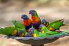 11 Cape Paterson 17-11-19-10 (Singing Toast) Tags: canon7d singingtoast lorikeets bird birdbath feedingtime australia lakesentrance