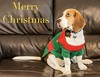 Wishing you all a very merry Christmas and a happy and prosperous 2018 (Frank Shepherd) Tags: 2018 happynewyear christmasholiday newyear happy fun pet dog happyholiday christmas beagle merrychristmas