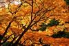 紅葉 Autumn leaves (takapata) Tags: sony sel90m28g ilce7m2 autmn leaves tree plant