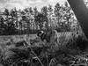 The hunter... (wketsch) Tags: olympus 1240pro tree nature dog pug animal pup leechwald grass loveley mops bw hunter