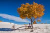 Trees of the Desert (Ingo Tews) Tags: usa us unitedstates america amerika newmexico nationalmonument monument nm whitesands sand tree baum cottonwood gold sky blue travel woman frau shade shadow heat