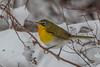 Yellow-breasted Chat , Quidi Vidi Lake (frank.king2014) Tags: yellowbreastedchat stjohns newfoundlandandlabrador canada ca