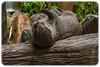Asian Small Clawed Otter (Aonyx cinerea) (Craig Jewell Photography) Tags: aonyxcinerea asiansmallclawedotter australia australiazoo beerwah mustelid otter queensland steveirwin zoo f40 100300mm ¹⁄₃₂₀sec canoneos1dmarkiv iso1600 137 20171228101701x0k0062cr2 noflash ‒1ev