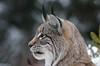 Luchs (svensonkra26) Tags: tierpark hellenthal luchs lynx outdoor dezember winter katze raubtier