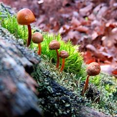 Made in Moulière (Esteban 86360) Tags: champigons champignon mushroom nature forêt forest bois landscape country automne saison promenade ballade mousse lichen vert green feuille