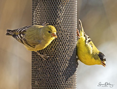 P52 52-52 Goldfinches (S M Ortiz) Tags: goldfinches shariortizphotography northerncalifornia canoneos7dmarkiidslrcamera canonef100400mmf4556lisiiusmlens pscc2017 birdphotography birding birdsinthewild birdsofnorthamerica nature naturephotography 2017
