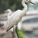 Snowy Egrets - Wildlife in city - Hong Kong