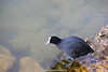Foulque (fauneetnature) Tags: foulque coot oiseaux ornithology ornithologie oiseau birds bird animalier animaux animals animal lacdubourget