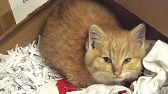 Cheetoh (found kitten) (Justin van Damme) Tags: cheetoh found kitten tabbi orange box cardboard white paper shreds shredded red