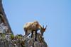 Giovane Stambecco. Young Ibex. (omar.flumignan) Tags: stambecco ibex montasio fvg friuliveneziagiulia montagna montain canon 7d ef100400f4556lisusm altopiano plateau ngc forcadeidistesis