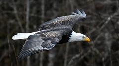 DSC_8717.jpg (wesleybarr1962) Tags: eagle baldeagle haliaeetusleucocephalus