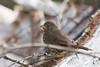 DSC_1025.jpg Fox Sparrow, Twin Lakes (ldjaffe) Tags: twinlakes