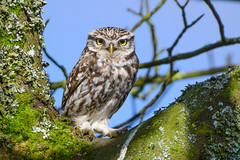 Little Owl (Terry Angus) Tags: owl little rochdale bird predator birdofprey owls wildlife