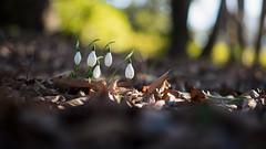 Drops (ai3310X) Tags: carlzeiss ycontax planar t 1450 昭和記念公園 スノードロップ snowdrop