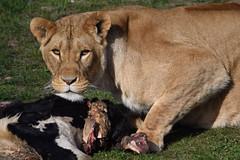 Dalila @ Wildlands Adventure Zoo Emmen 25-03-2017 (Maxime de Boer) Tags: dalila african lion lioness afrikaanse leeuw leeuwin panthera leo wildlands adventure zoo emmen animals dieren dierentuin gods creation schepping creator schepper genesis