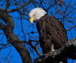 Bald eagle looking impressive.