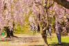 IMG_8455 (etsuko_dayo) Tags: cherry blossoms 桜 青森 弘前
