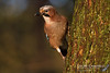 Irish Jay (Garrulus glandarius hibernicus) (gcampbellphoto) Tags: irish jay garrulus glandarius hibernicus bird corvid nature wildlife wood woodland gcampbellphoto outdoor animal food grass