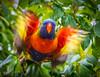 Lorikeet leaving (Scottmh) Tags: 2017 birds d7100 feeding flight fruit lorikeets nikon rainbow summer tree