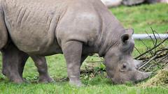 Rhino (IRGlover) Tags: doncaster rhino southyorkshire uk yorkshirewildlifepark england unitedkingdom