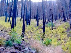 Taking advantage (Lost Dutchman) Tags: forestfire wildfire parkercanyon sierraancha arizona