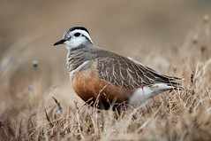 Eurasian Dotterel Charadrius morinellus (janmangorfagerland) Tags: animal birds bird birdphoto bokeh birdsgallery birding birdsofnorway distinguishedbirds fagerland field fugler flickr fjell fuglebilder fauna mountain hardangervidda grass jan janfagerland nikon norway norge nature natur nikkor 2007 oldpicture d300 300mm4 outdoor ornithology red brown grey orange photography photo tc14e wildlife white wildbirds