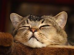 DORMIIIIR portrait de la belle au bois dormant (Ker Kaya) Tags: cat portrait macro closeup sleeping dormir cute sweet green eye funny kerkaya fdekerkaya lovely adorable soft face proxi still quiet dscrx10m4 sony sonydscrx10m4 dscrx10iv dscrx10 compact bridge rx10 rx10iv rx10m4 carlzeiss rx10miv artist photography kerkayaphotography