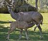 Feeding Time (ACEZandEIGHTZ) Tags: antelope greater kudu female feeding baby nikon d3200 miami zoo zoomiami metro dadecounty southern eastern africa herbivore coth coth5