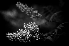 *** (pszcz9) Tags: przyroda nature natura kwiat flower zbliżenie closeup bokeh beautifulearth sony a77 bw blackandwhite monochrome czarnobiałe