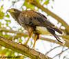 Harris's Hawk (orencobirder) Tags: birds largebirds hawks flickrexport