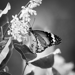 Softly (I.Z.82) Tags: butterfly flower nature moments emotions blackandwhite canon