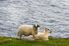 Ireland - Slieve League Cliffs (Marcial Bernabeu) Tags: ireland irlanda irish irlandes irlandés irlandesa slieve league cliffs acantilados slieveleague sheep oveas sea ocean mar oceano océano atlantic atlántico atlantico
