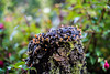 _DSC6203 (xav_roberts) Tags: nikon nikonv1 nikkor dof moss lichen nature funghi rust autumn wintersun moisture dew morningdew outdoor countryside rural plants nikkon1 nikkor32mm nikonft1 sigma105mmf28 sigma105mm sigma