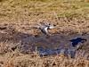 MID_0339 (mikedoylepics) Tags: animals british britishwildlife birds bird d500 redshank lincolnshire lincolnshirewildlifetrust donnanook