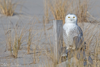 Snowy Owl (Explored)