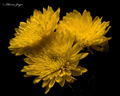 Three Yellow Mums 1022 (Tjerger) Tags: nature black blackbackground bloom blooming blooms closeup fall flora floral flower flowers macro mum plant portrait three wisonsin yellow mums trion naturel