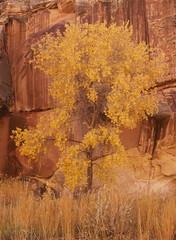 The Golden Bough (baro-nite) Tags: capitolreef utah fallcolor cottonwood mediumformat film e6 fujifilm velvia rvp50 pentax 645n smcpentaxfa645zoom14545~85mm epsonv700 affinityphoto