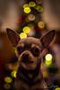 Bokeh Chihuahua (JDS-photo) Tags: chihuahua dog pet christmas bokeh tree christmastree festive lightroom canoneos6d canonef50mmf18 dof depthoffield