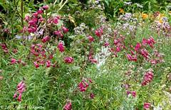 Caversham Court Gardens, July 2017 (4) - penstemon (karenblakeman) Tags: caversham uk cavershamcourtgardens july 2017 flowers penstemon reading berkshire